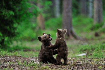 Canvastavlor Bruna björngröngölingar som leker i skogen