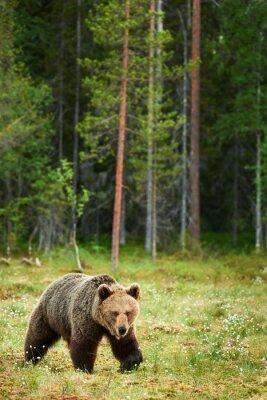 Canvastavlor Brunbjörn i skogen
