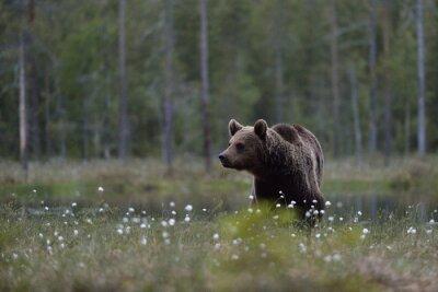 Canvastavlor Brunbjörn (Ursus arctos) i hed med skog bakgrund. Brunbjörn i myr med skog bakgrund. Taiga. Finland.