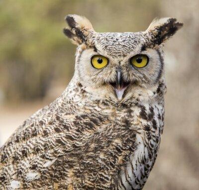 Canvastavlor Bubovirginianus virginianus - Owl
