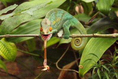 Canvastavlor Camaleão em Madagaskar