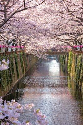 Canvastavlor Cherry blossom fodrad Meguro Canal i Tokyo, Japan.