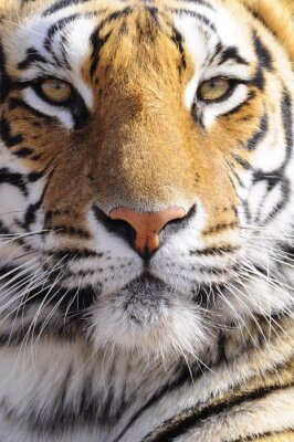 Canvastavlor Closeupstående skjutit Bengal tiger