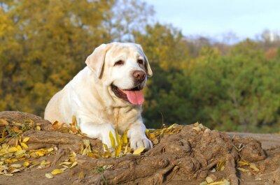 Canvastavlor den fina gula labrador i parken i höst