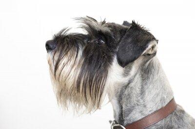 Canvastavlor Den vise Schnauzerhund