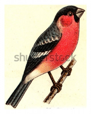 Canvastavlor Domherre, vintage graverad illustration. Från Deutch Birds of Europe Atlas.