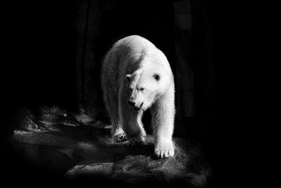 Canvastavlor Eisbär i Schwarzweiß