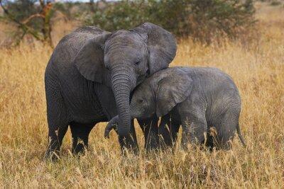 Canvastavlor elefant bröder