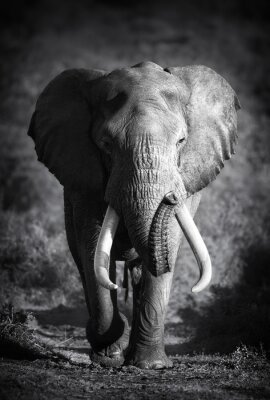 Canvastavlor Elefant Bull (konstnärlig bearbetning)