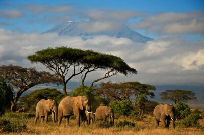 Canvastavlor Elefant familj framför Mt. kilimanjaro