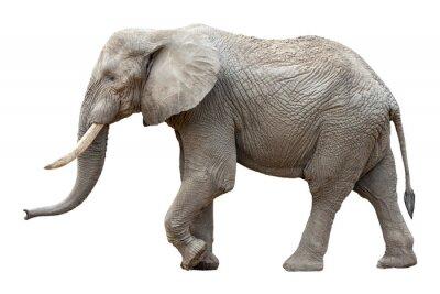 Canvastavlor Elefant framför en vit bakgrund