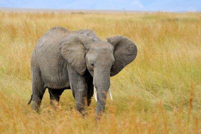 Canvastavlor Elefant i nationalparken Kenya