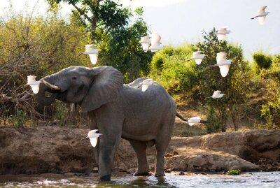 Canvastavlor Elefant med vita hägrar. Zambia. Lower Zambezi National Park. Zambezifloden. En utmärkt illustration.