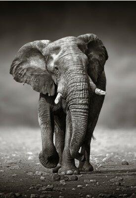 Canvastavlor Elefant strategi framifrån