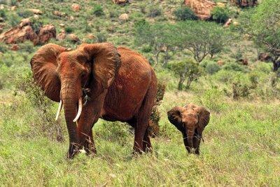 Canvastavlor elefanter