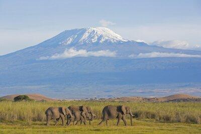Canvastavlor Elefanter med Kilimanjaro