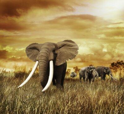 Canvastavlor Elefanter på solnedgången