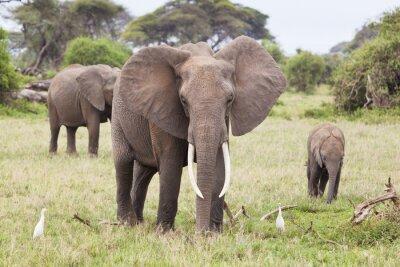 Canvastavlor Elefantfamilj i Kenya