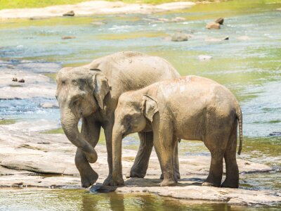 Canvastavlor Elephatnts