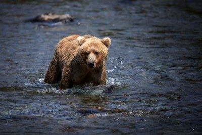 Canvastavlor En Alaskan brunbjörn vadar genom Brooks River på jakt efter lax.