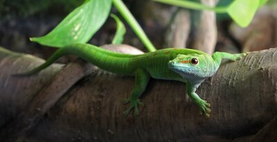 Canvastavlor En grön Gecko, uppflugen på en gren