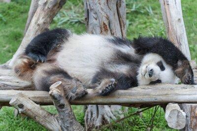 Canvastavlor En sovande jätte pandabjörn