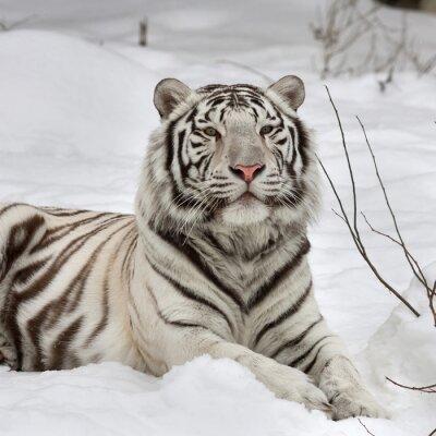Canvastavlor En vit bengal tiger, lugna liggande på nysnö. Den vackraste djur och mycket farlig fä av världen. Denna allvarliga Raptor är en pärla av vilda djur. Djur ansikte porträtt.