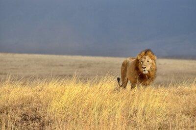 Canvastavlor ensam Lion