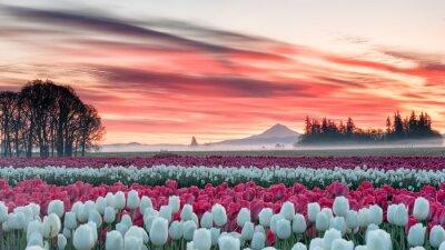 Canvastavlor ett tulpanfält under en rosa soluppgång med ett berg i bakgrunden