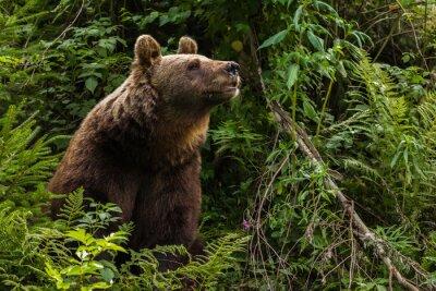 Canvastavlor Europeisk brunbjörn
