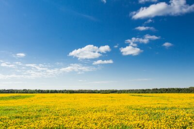 Canvastavlor Fält av gula maskrosor mot den blå himlen.