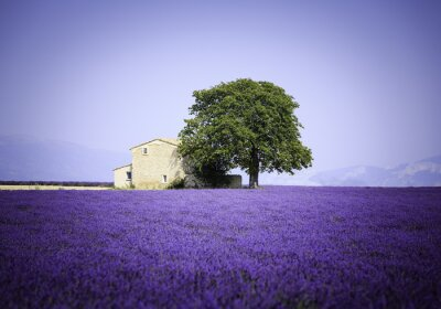 Canvastavlor fält blommande lavendel med gammal bondgård - Provence, Frankrike