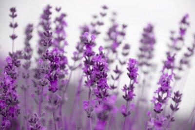 Canvastavlor fält lavendel