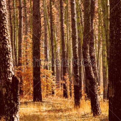 Canvastavlor fantastisk gyllene höst i tallskogens ljusa apelsinväxter stammar av höga träd rena och ingen runt skönheten i vår värld