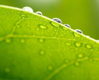 Canvastavlor Färska gröna blad bakgrund