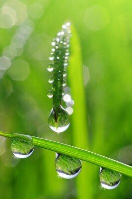 Canvastavlor Färskt gräs med daggdroppar närbild