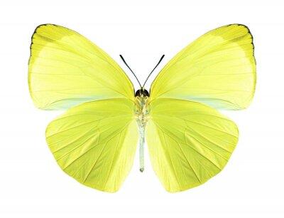 Canvastavlor Fjäril gandaca harina (hane) (undersida)