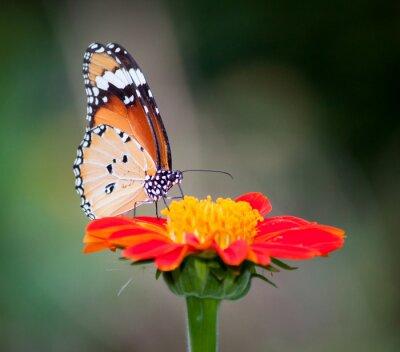 Canvastavlor Fjäril på en blomma