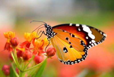 Canvastavlor Fjäril på orange blomma i trädgården