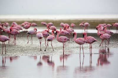 Canvastavlor Flamingos i Wallis Bay, Namibia, Afrika