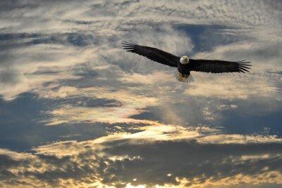 Canvastavlor flygande Bald Eagle över Alaska