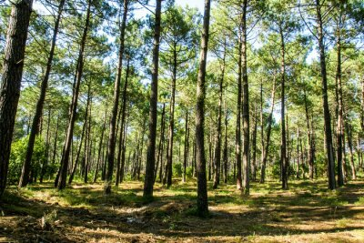 Canvastavlor forêt landaise