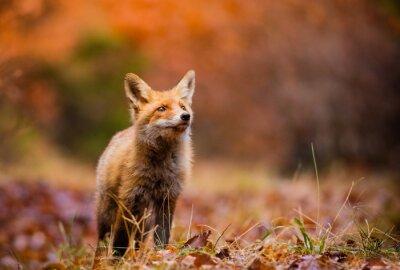 Canvastavlor Fox (Vulpesvulpes) i europa skog