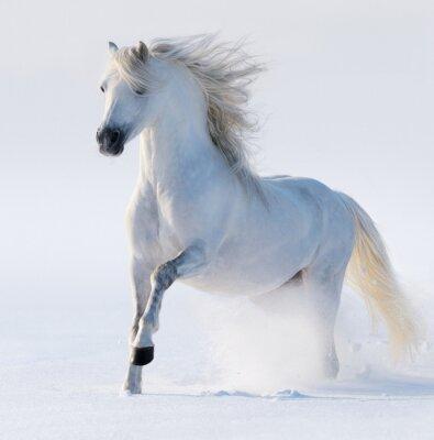 Canvastavlor Galopperande snövita häst