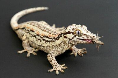 Canvastavlor Gargoyle Gecko äta