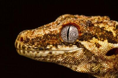 Canvastavlor Gargoyle Gecko (rhacodactylus auriculatus) i profil