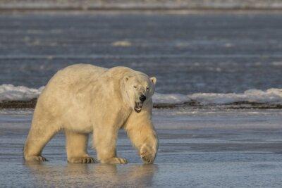 Canvastavlor Gäspa -isbjörn på is