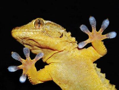 Canvastavlor geco che mostra le sue zampe adesive