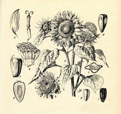 Canvastavlor Gemensam solros (Helianthus annuus)