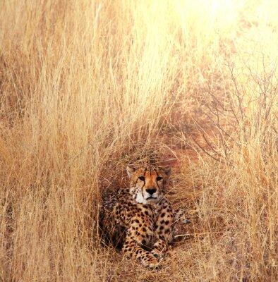 Canvastavlor Gepard